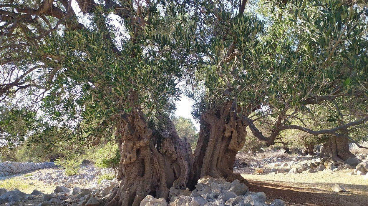 Ulivo millennario nel giardino degli ulivi di Lun a Pag