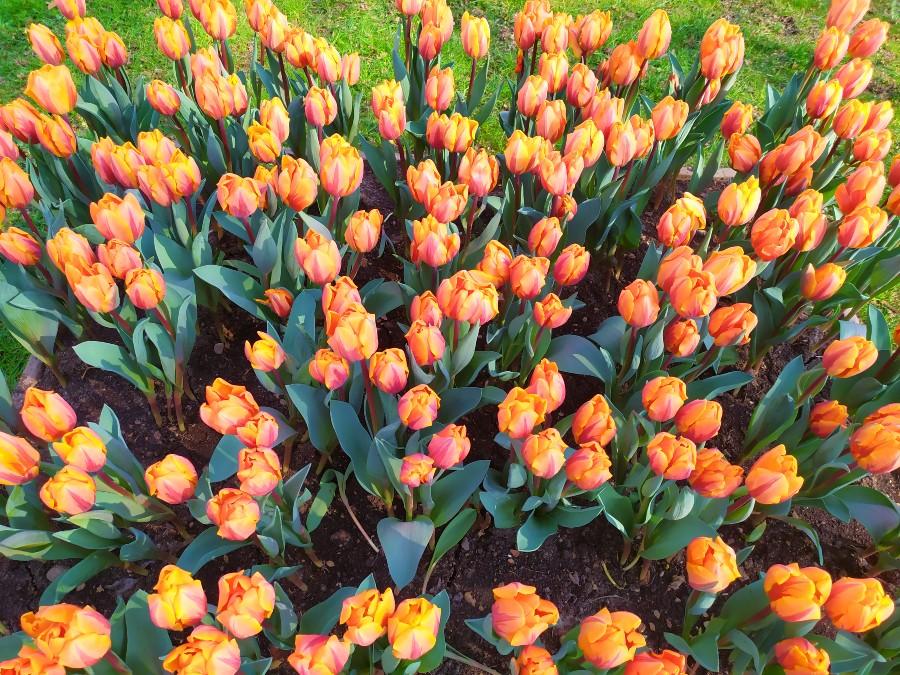 tulipani parco giardino sigurtà