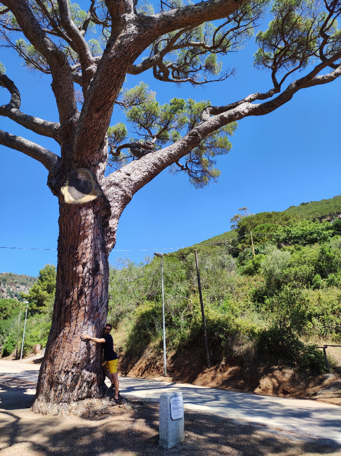 albero monumentale isola elba