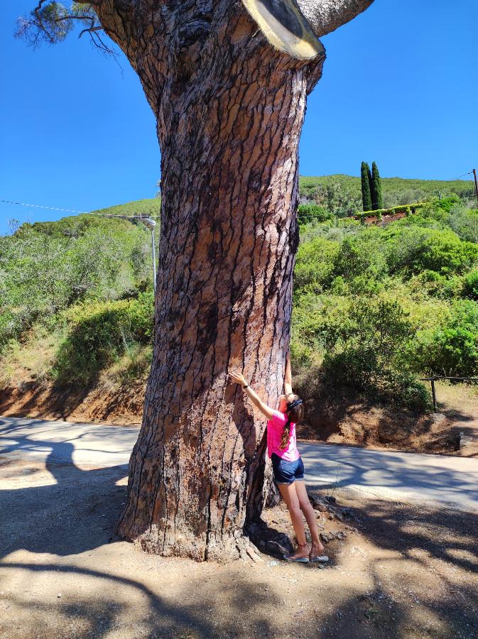 albero secolare isola elba