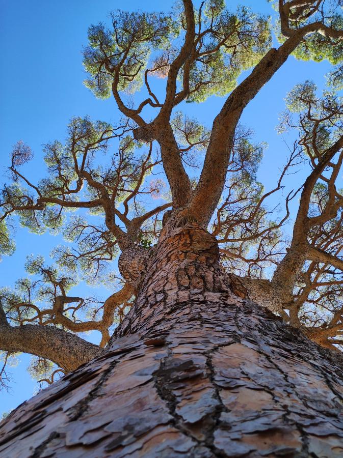 pino domestico isola elba