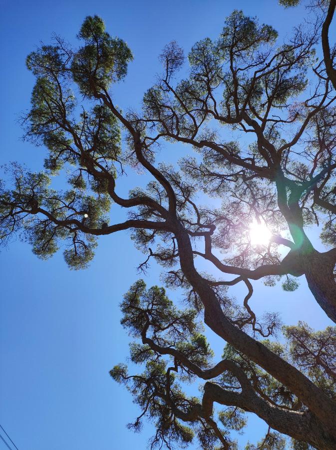 pino secolare isola elba