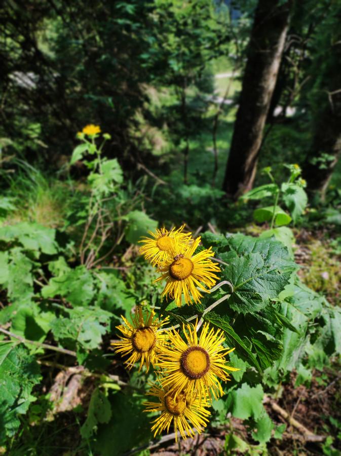 fiori ghertele
